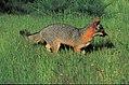 Island fox (15890087354).jpg
