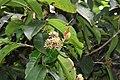 Ixora brachiata - മരച്ചെക്കി.jpg