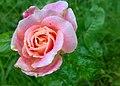 JNU Pink Rose.jpg