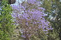 Jacaranda mimosifolia at Giza zoo by Hatem Moushir 2.JPG