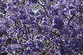 Jacaranda mimosifolia from anaimalai hills JEG6078.jpg