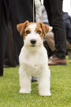 Jack-russell-colombia-delosguanes.JPG