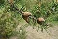 Jack Pine foliage and cones, Michigan 1.jpg