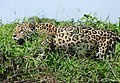 Jaguar (Panthera onca) male hunting along the riverbank ... (28093782530).jpg