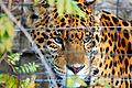 Jaguar b d.jpg