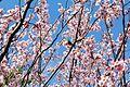 Japan 260316 Sakura 01.jpg