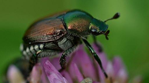 Japanese Beetle (Popillia japonica) - London, Ontario 02