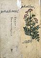 Japanese Herbal, 17th century Wellcome L0030102.jpg