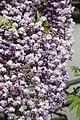 "Japanese Wisteria (Wisteria floribunda) ""Violacea Plena"" (3502719597).jpg"