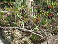 Jardín canario 52.JPG