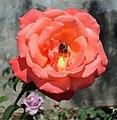 Jardim do Roseiral (Palácio de Cristal) - Rosa 1.JPG