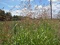 Johnson Grass (3236394310).jpg