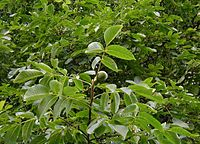 Detail na větvičku s listy a jedním již téměř zralým plodem