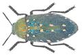 Julodis manipularis (Fabricius, 1798).png