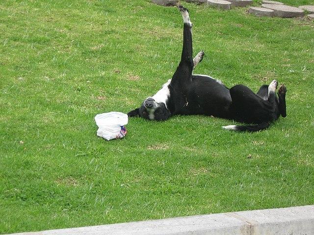 ¿Por qué mi perro se revuelca sobre cosas asquerosas? Aquí la respuesta