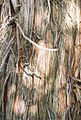 Juniperus excelsa bark Bulgaria.jpg