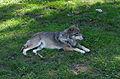 Juraparc 06-07-2013 - Wolf.jpg