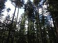 Kalam Forest Beauty - Kalaam, Swat, Pakistan.jpg