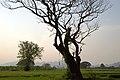 Kanchanaburi, Thailand, Acacia thorn tree.jpg