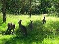Kangaroo Blue Mountains NP.jpg