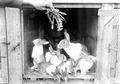 Kaninchen, die von den Soldaten gezüchtet werden - CH-BAR - 3241219.tif