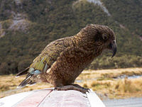 Kea on car.jpg