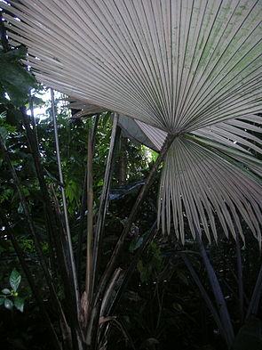 Kerriodoxa elegans