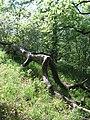 Kidőlt fa különleges pózban- Bükk hegység Küpűskő Hungary - panoramio.jpg