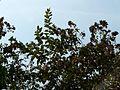 Kindal (Marathi- किंडल) (3394889714).jpg