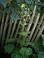 Kirengeshoma palmata01.jpg