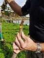 Kiwifruit vine grafting 15.jpg