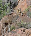 Klipspringer (Oreotragus oreotragus) male (32631636822).jpg
