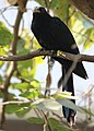 Koel male Basavanagudi Bangalore 02.jpg