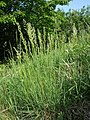 Koeleria macrantha sl23.jpg