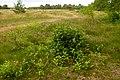 Korina 2013-07-14 Prunus serotina.jpg