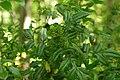 Korina 2015-05-22 Mahonia aquifolium 1.jpg