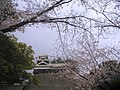 KumamotoCastle-sakura-2006-3-28.jpg
