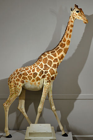 Northern giraffe - The stuffed Nubian giraffe, Zarafa in the Museum of Natural History of La Rochelle, France.