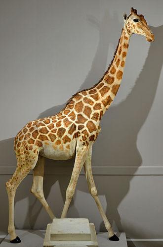 Northern giraffe - The stuffed Nubian giraffe, Zarafa in the Museum of Natural History of La Rochelle, France.