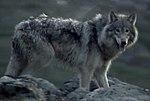 Labrador Wolf.jpg