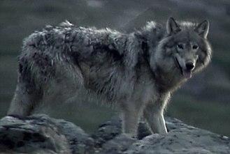 Labrador wolf - Image: Labrador Wolf