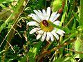 Ladybird on White daisy.JPG