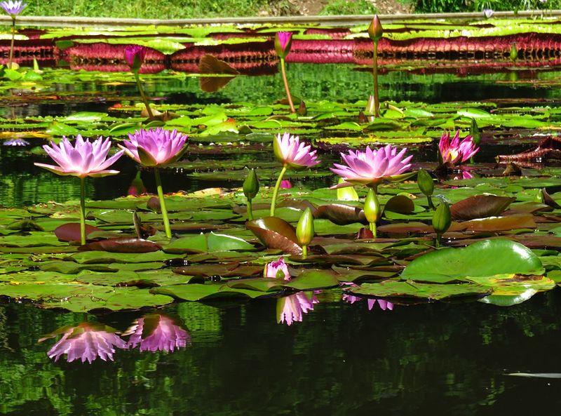 File laguna venezuela jard n botanico de la ucv caracas for Lagunas de jardin