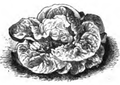 Laitue grosse blonde paresseuse Vilmorin-Andrieux 1883.png