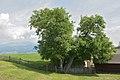 Lajen Walnussbaum im Bäcknangerle.jpg