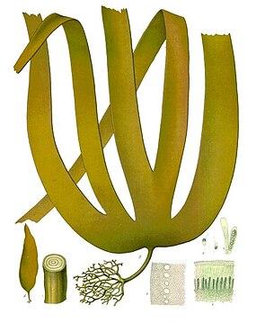 Palmentang (Laminaria hyperborea), Illustration aus Köhler's Medizinal-Pflanzen