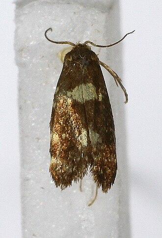 Prodoxidae - Lampronia corticella