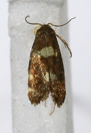 Yucca Moth Range List of butterf...