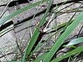Lampyris.noctiluca.02072019.jpg