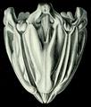 Lanterne d'Aristote (Haeckel) droit.png